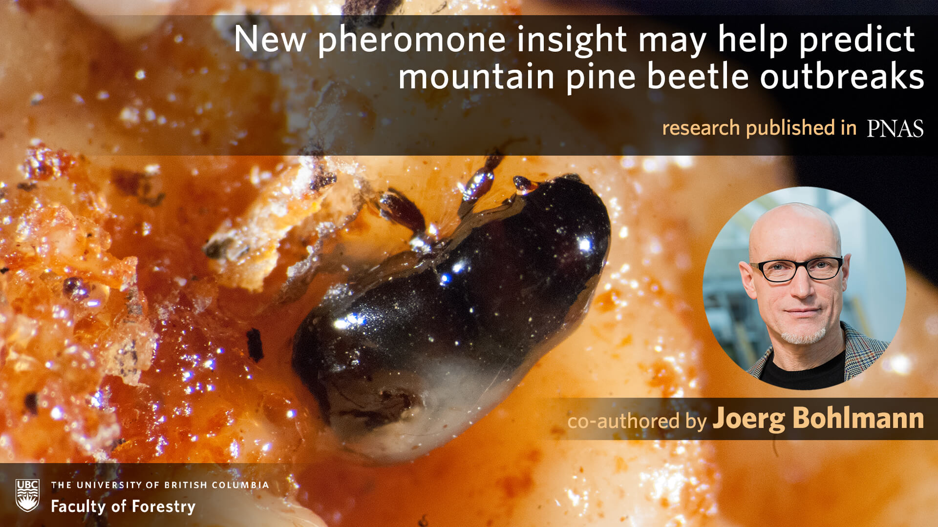 New Pheromone Insight may Help Predict Mountain Pine Beetle Outbreaks