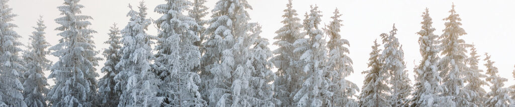 Reforestation Strategies - Spruce Trees in Frost During the Winter