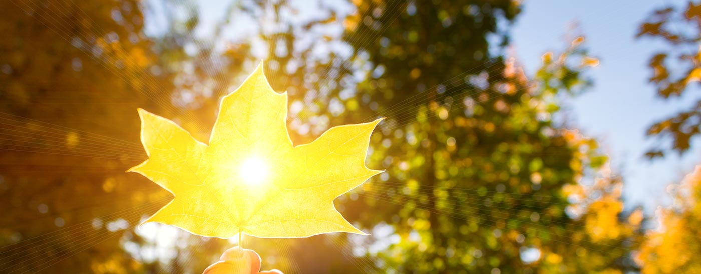 Glowing yellow leaf being held up to the sun with a hand