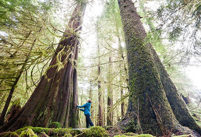 Wide angle photo of a student in BC forest amongst massive trees