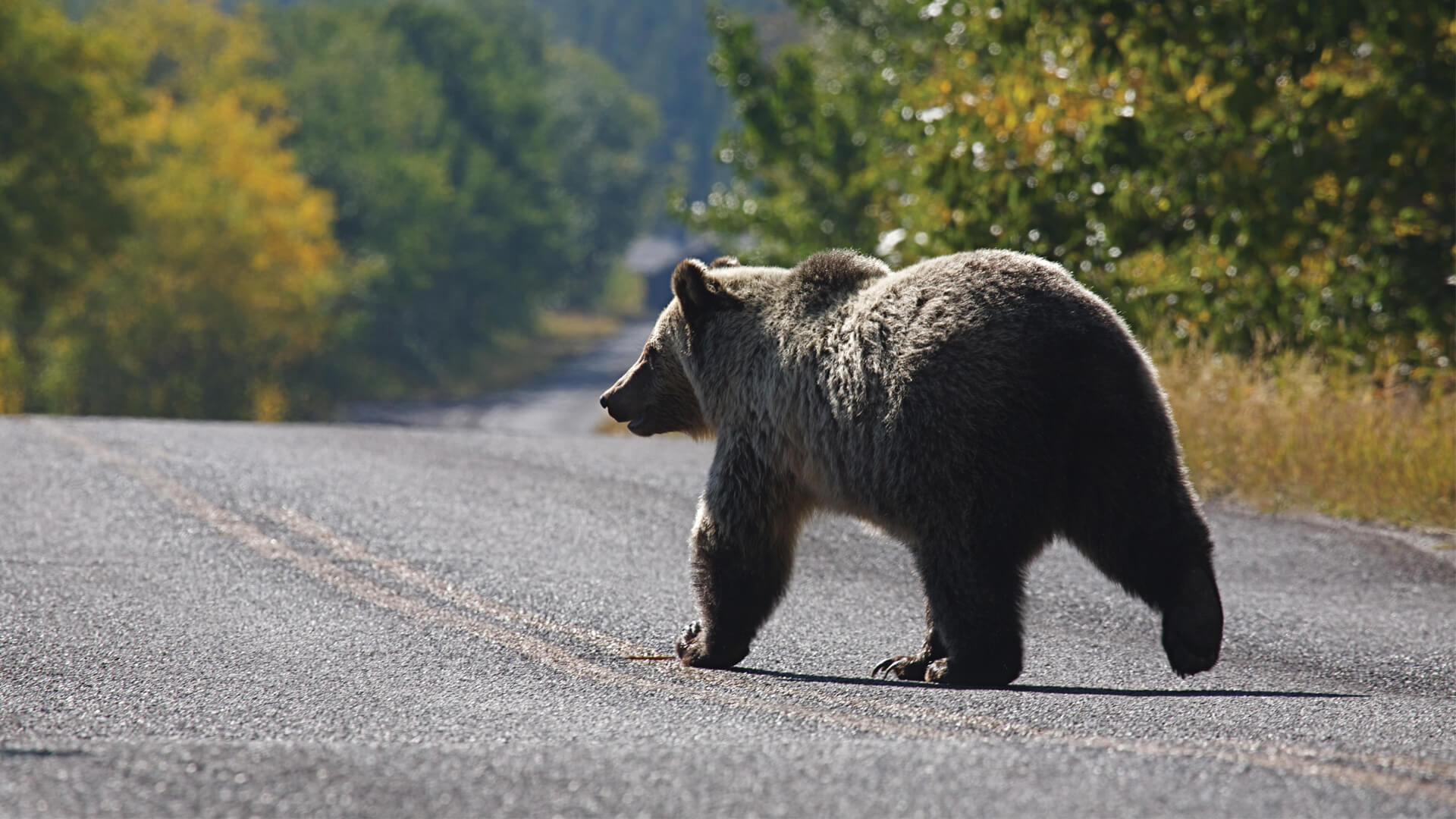 How Does Road Visibility Influence Grizzly Bear Movement?