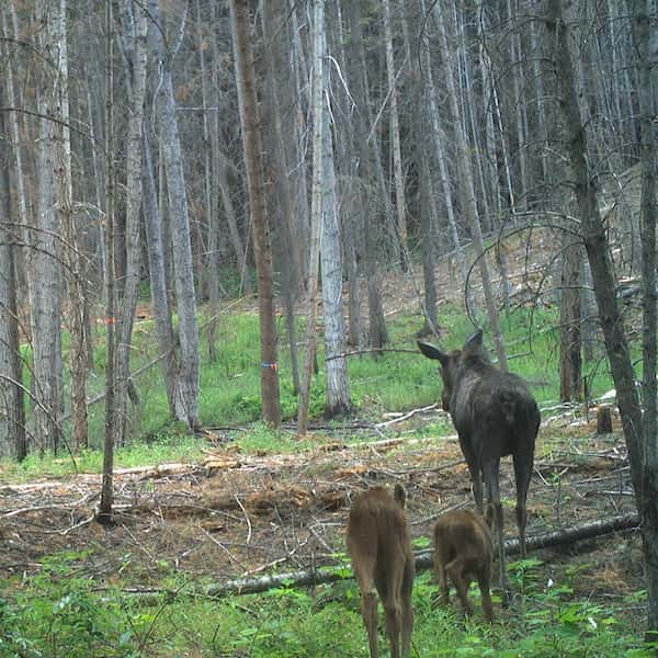A cow moose (Alces alces) and her twins walk through a recently burned, partially harvested forest northeast of Williams Lake.