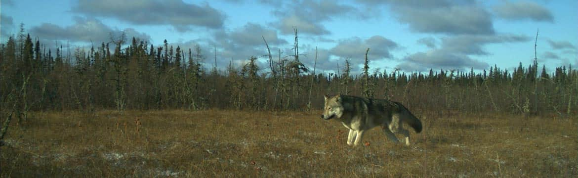 A wolf (Canis lupus) moves across the landscape of northeastern Alberta.